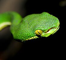 Eyes of Trimeresurus by Dr. Pankaj Kumar