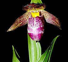 Cypripedium himalaicum by Dr. Pankaj Kumar