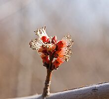 Maple Bud by Mike Oxley