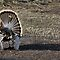 Just Me and My Shadow, Wild Turkey Style by A.M. Ruttle