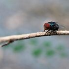 Red Eyed Fly by Ella Duncan