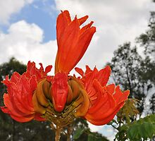 African Tulip Tree Reaching Higher  by Brandie1