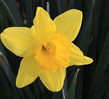 Daffodil by Lisawv