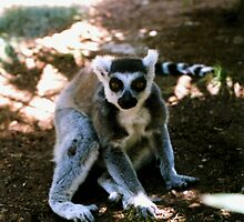 Ringtailed Lemur by Michelle Miller