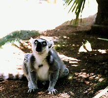 Ringtailed Lemur Making Noise by Michelle Miller