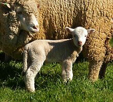 I'LL BE WOOLLY LIKE MUM ONE DAY by Helen Akerstrom Photography