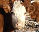 Humble Cow Portrait by Barberelli
