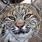 Florida Bobcat Lynx Bob Cat Big Cat Wildlife Animal Portrait by Rick Short