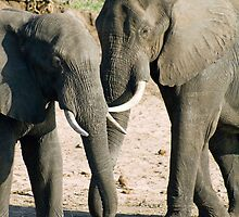 Elephants - Chobe Botswana by andiperkins