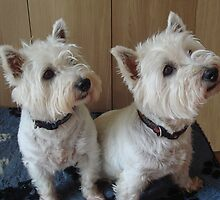 Missy & Ellie, West Highland White Terriers by Sandra Cockayne