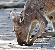 Kangaroo by Tom Newman
