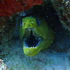 Green Moray by Robtoca