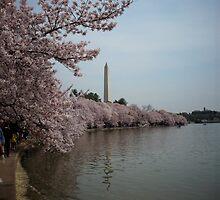 Cherry Blossom 2010 B by AJ Belongia