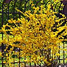 Wispy branches of Forsythia's climbing the fence...... by Ruth Lambert
