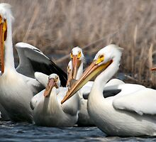 American White Pelicans by Joe Thill