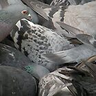 Pigeon Scrum by Barnbk02