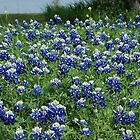 Bluebonnet Field by Patricia Miller