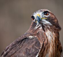 Red Tail Hawk by (Tallow) Dave  Van de Laar