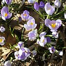 Crocus by Freedom