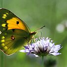 Colias croceus by jimmy hoffman