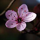 Cherry Blossom by DExPIX