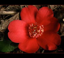 Portrait of a Red Camellia by bicyclegirl