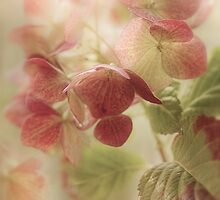 Hydrangea  by Mandy Disher