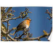 Robin singing for spring Poster