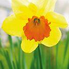 Daffodil by DExPIX