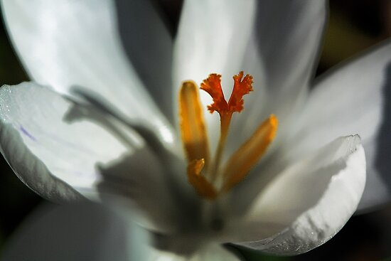 Delicate White Crocus -  by T.J. Martin