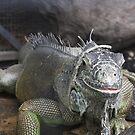 I'm Watching You! - An Iguana by Nicole K