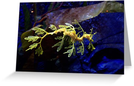 Leafy Sea Dragon by Eamonn Doyle