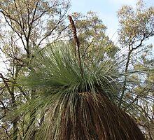 Australian Native Grass Tree by DianneLac