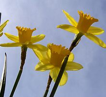 Daffodil from a bug's point of view. by William Brennan