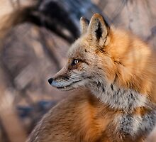 Alpha Fox Portrait by Jay Ryser