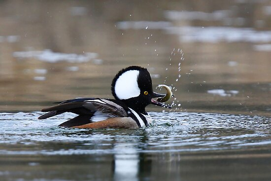 Hooded Merganser gets his fish by Jim Cumming