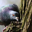 'Wood' Pidgeon by Franco De Luca Calce