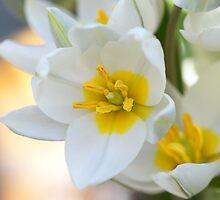 Dwarf tulips by walstraasart