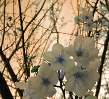 Blue Blossoms by 4Hour