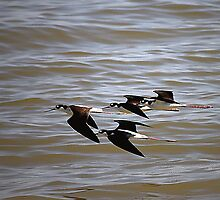 Black-Necked Stilts At Salton Sea by CarolM