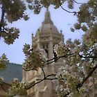Cherry Blossums on Campus by Jeff Cook