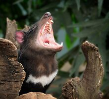 Tasmanian Devil by David Bellamy