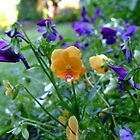 orange and purple violas in the garden by Sherony Lock