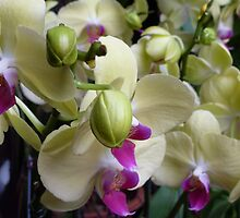Orchid, Hong Kong Flower Market  by Brent Thomson