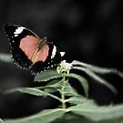 Lacewing Butterfly by baddoggy