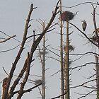 Blue Heron Rookery - Bridgton, Maine by T.J. Martin