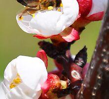 Honeybee at work by Michael Brewer