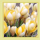 Yellow crocus in early spring D by pogomcl