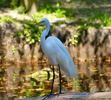 Great White Beauty of Homosassa Springs State Park by Julie Everhart