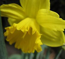 A Host of Golden Daffodils by MarianBendeth